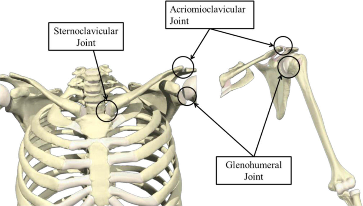 Anatomy of the Shoulder Part 1 - MUJO